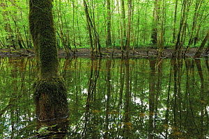 Pool of water left over from the flooded season in a Grey alder (Alnus incana) forest between Ko�utarica and Mlaka, Lonjsko Polje Nature Park, Sisack-Moslavina county, Slavonia region, Posavina area,... - Wild Wonders of Europe / della Ferrera