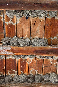 Nesting colony of House martins (Delichion urbicum) in a building, Mu�ilovcica village, Lonjsko Polje Nature Park, Sisack-Moslavina county, Slavonia region, Posavina area, Croatia, June 2009 - Wild Wonders of Europe / della Ferrera