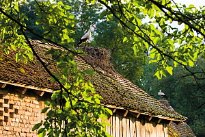 White storks (Ciconia ciconia) nesting on roof, Cigoc village, Lonjsko Polje Nature Park, Sisack-Moslavina county, Slavonia region, Posavina area, Croatia, June 2009  -  Wild Wonders of Europe / della Ferrera