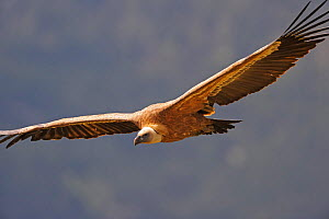 Griffon vulture (Gyps fulvus) in flight, Andorra, June 2009  -  Wild Wonders of Europe / Elander