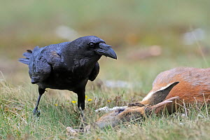 Raven (Corvus corax) next to Roe deer (Capreolus capreolus) carcass, Andorra, June 2009  -  Wild Wonders of Europe / Elander