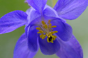 European columbine (Aquilegia vulgaris) flower, Pal, Andorra, June 2009  -  Wild Wonders of Europe / Elander
