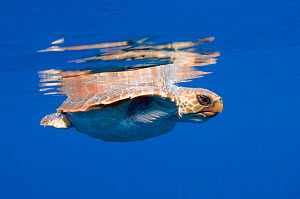 Loggerhead turtle (Caretta caretta) swimming with the top of its shell just above the water surface, Pico, Azores, Portugal, June 2009 - Wild Wonders of Europe / Lundgren
