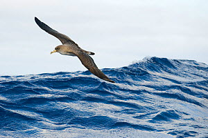 Cory's shearwater (Calonectris diomedea) in flight over sea, Pico, Azores, Portugal, June 2009 - Wild Wonders of Europe / Lundgren