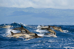 Common dolphins (Delphinus delphis) porpoising, Pico, Azores, Portugal, June 2009  -  Wild Wonders of Europe / Lundgren
