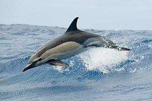 Common dolphin (Delphinus delphis) jumping, Pico, Azores, Portugal, June 2009  -  Wild Wonders of Europe / Lundgren