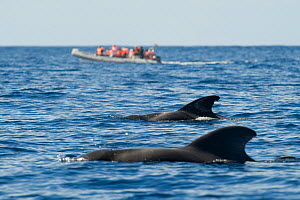 Two Short finned pilot whales (Globicephala macrorhynchus) surfacing with a small whale watching boat in the distance, Pico, Azores, Portugal, June 2009  -  Wild Wonders of Europe / Lundgren
