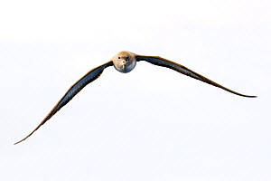 Cory's shearwater (Calonectris diomedea) in flight, Pico, Azores, Portugal, June 2009 - Wild Wonders of Europe / Lundgren