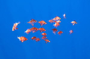 Small shoal of Boarfish (Capros aper) Pico, Azores, Portugal, June 2009  -  Wild Wonders of Europe / Lundgren