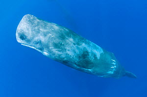 Sperm whale (Physeter macrocephalus) portrait, Pico, Azores, Portugal, June 2009  -  Wild Wonders of Europe / Lundgren