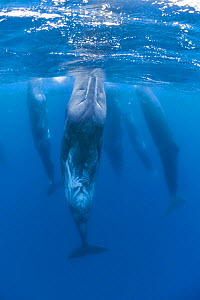 Sperm whales (Physeter macrocephalus) resting, Pico, Azores, Portugal, June 2009  -  Wild Wonders of Europe / Lundgren