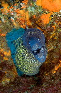 Marbled moray (Muraena helena) coming through hole with mouth open, Princesa Alice, Azores, Portugal, June 2009  -  Wild Wonders of Europe / Lundgren