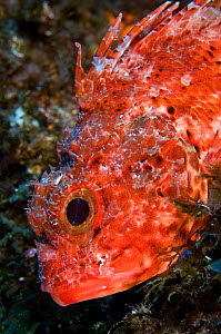 Scorpionfish (Scorpaena maderensis) portrait, Pico, Azores, Portugal, June 2009 - Wild Wonders of Europe / Lundgren