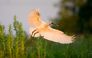 Spoonbill (Platalea leucorodia) adult in flight, Netherlands, June 2009  -  Wild Wonders of Europe / Hamblin
