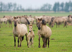 Konik horse family, Oostvaardersplassen, Netherlands, June 2009  -  Wild Wonders of Europe / Hamblin