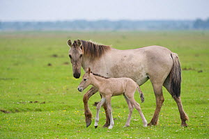 Konik horse, mare with young foal, Oostvaardersplassen, Netherlands, June 2009  -  Wild Wonders of Europe / Hamblin