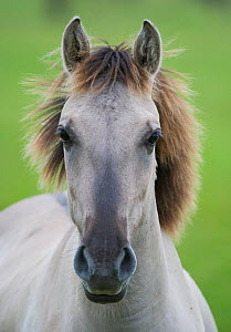 Konik horse, portrait of stallion, Oostvaardersplassen, Netherlands, June 2009  -  Wild Wonders of Europe / Hamblin