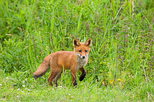 Red fox (Vulpes vulpes) cub, Oostvaardersplassen, Netherlands, June 2009  -  Wild Wonders of Europe / Hamblin