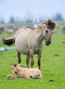 Konik horse, mare standing over young foal, Oostvaardersplassen, Netherlands, June 2009  -  Wild Wonders of Europe / Hamblin