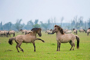 Konik horse, stallions squaring up ready to fight, Oostvaardersplassen, Netherlands, June 2009  -  Wild Wonders of Europe / Hamblin