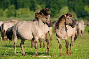 Konik horse, stallions sizing one another up, Oostvaardersplassen, Netherlands, June 2009  -  Wild Wonders of Europe / Hamblin