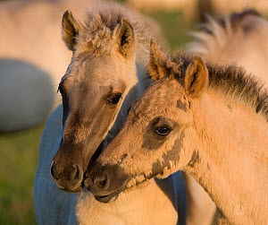 Two Konik horse foals, Oostvaardersplassen, Netherlands, June 2009  -  Wild Wonders of Europe / Hamblin