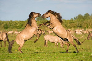 Two Konik horse stallions fighting during breeding season, Oostvaardersplassen, Netherlands, June 2009. WWE OUTDOOR EXHIBITION.  -  Wild Wonders of Europe / Hamblin