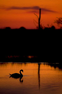 Mute Swan (Cygnus olor) adult silhouetted on lake at sunset, Oostvaardersplassen, Netherlands, June 2009  -  Wild Wonders of Europe / Hamblin