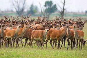 Red deer (Cervus elaphus) herd, Oostvaardersplassen, Netherlands, June 2009  -  Wild Wonders of Europe / Hamblin