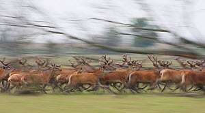 Red deer stags (Cervus elaphus) on the move, Oostvaardersplassen, Netherlands, June 2009. - Wild Wonders of Europe / Hamblin
