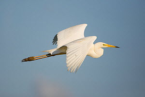 Great white egret (Ardea alba) in flight, Oostvaardersplassen, Netherlands, June 2009  -  Wild Wonders of Europe / Hamblin