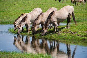 Konik horses drinking, Oostvaardersplassen, Netherlands, June 2009  -  Wild Wonders of Europe / Hamblin