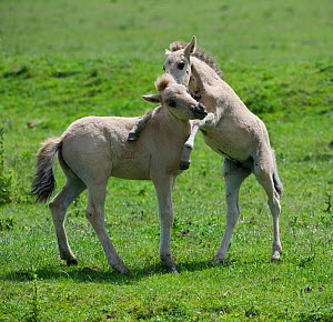 Two Konik horse foals playing, Oostvaardersplassen, Netherlands, June 2009  -  Wild Wonders of Europe / Hamblin