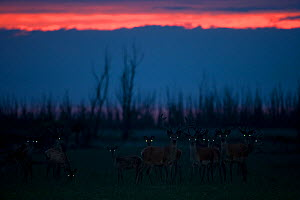 Red deer (Cervus elaphus) stags at dusk showing eye shine, Oostvaardersplassen, Netherlands, June 2009 - Wild Wonders of Europe / Hamblin