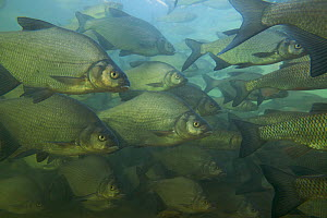 Bream (Abramis brama) and European chub (Leuciscus / Squalius cephalus) shoal in a calm part of the Rhine, Schaffhausen, Switzerland, February 2009  -  Wild Wonders of Europe / Roggo