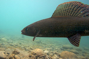 Male European grayling (Thymallus thymallus) on spawning ground, Lake of Thun, Thun, Switzerland, March 2009  -  Wild Wonders of Europe / Roggo