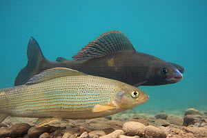 European grayling (Thymallus thymallus) pair spawning, the dark one is the male, Lake Thun, Thun, Switzerland, March 2009  -  Wild Wonders of Europe / Roggo