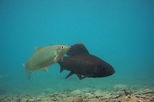 European grayling (Thymallus thymallus) pair on spawning ground, male (dark) Lake Thun, Thun, Switzerland, March 2009  -  Wild Wonders of Europe / Roggo