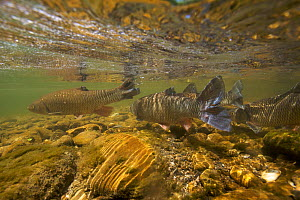Chub (Squalius / Leuciscus cephalus) on spawning ground, Tr�me, Saane river tributary, Canton of Fribourg, Switzerland, May 2009  -  Wild Wonders of Europe / Roggo