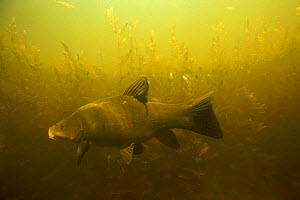 Tench (Tinca tinca) in peat pond, Fribourg, Switzerland, May 2009  -  Wild Wonders of Europe / Roggo