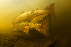 Atlantic salmon (Salmo salar) migrating upstream to spawn, Ume�lven, Sweden, July 2009  -  Wild Wonders of Europe / Roggo