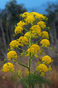 Giant fennel (Ferula communis) flower, Kaplica, Northern Cyprus, April 2009  -  Wild Wonders of Europe / Lilja