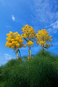 Giant fennel (Ferula communis) plants in flower, Kaplica, Northern Cyprus, April 2009  -  Wild Wonders of Europe / Lilja