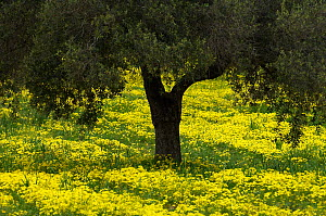 Olive trees surrounded with flowering yellow Bermuda buttercups (Oxalis pes caprae) Kaplika, Northern Cyprus, April 2009  -  Wild Wonders of Europe / Lilja