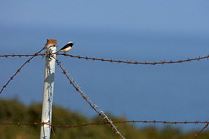 Cyprus pied wheatear (Oenanthe cypriaca) perched on barbed wire singing, Northern Cyprus, April 2009  -  Wild Wonders of Europe / Lilja