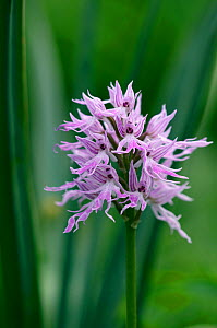 Naked man orchid (Orchis italica) flower, Kayalar, Northern Cyprus, April 2009  -  Wild Wonders of Europe / Lilja