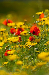 Meadow with Field poppy (Papaver rhoeas) and Crown daisy (Chrysanthemum coronarium) flowers, Limassol, Northern Cyprus, April 2009 - Wild Wonders of Europe / Lilja