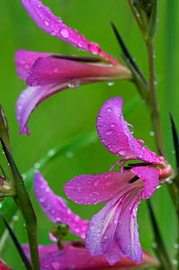 Field gladiolus (Gladiolus italicus) close-up of flowers covered in raindrops, Limassol, Cyprus, April 2009 - Wild Wonders of Europe / Lilja