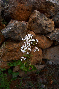 Cretan valerian (Valeriana asarifolia) in flower growing between rocks, Prina, Crete, Greece, April 2009  -  Wild Wonders of Europe / Lilja