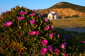 Hottentot fig (Carpobrotus edulis) in flower with a church in the background, Pachia Ammos, Crete, Greece, April 2009  -  Wild Wonders of Europe / Lilja